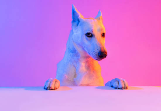 Portrait of purebred dog, White Shepherd isolated over studio background in neon gradient pink light filter. Concept of motion, action, pets love, animal life. Copy space for ad. Looks sweet, happy